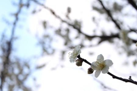 近くで花開いてた梅。逆光がまぶしい><