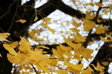 銀杏の木も色気づいて、なんだか冬の訪れの気配。